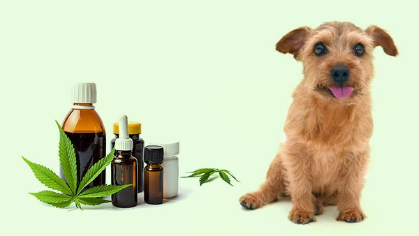 Image result for CBD for dogs